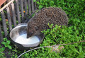 Hedgehog drinking milk in the garden. Attracting hedgehogs. Hedgehogs are lactose intolerant so please do not give them milk. Royalty Free Stock Photo