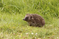 Hedgehog erinaceus europaeus single mammal on garden lawn midlands july Stock Photos