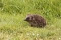 Hedgehog, Erinaceus europaeus Royalty Free Stock Photo