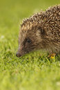 Hedgehog erinaceus europaeus single mammal on garden lawn midlands july Stock Image