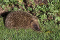 Hedgehog erinaceus europaeus single mammal on grass uk Stock Photography