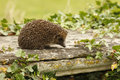 Hedgehog erinaceus europaeus single mammal on tombstone in churchyard midlands july Royalty Free Stock Photo