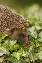 Hedgehog erinaceus europaeus single mammal on tombstone in churchyard midlands july Stock Image