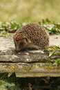 Hedgehog erinaceus europaeus single mammal on tombstone in churchyard midlands july Stock Photos