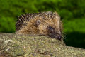 Hedgehog european on large tree trunk Stock Photography