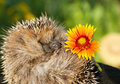 Hedgehog with flower Royalty Free Stock Photography