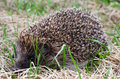 Hedgehog in a grass the Royalty Free Stock Photo