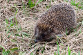 Hedgehog in a grass the Royalty Free Stock Photography