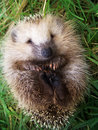 Hedgehog on a grass Royalty Free Stock Images
