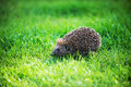 Hedgehog on green lawn in backyard Royalty Free Stock Images