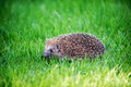 Hedgehog on green lawn in backyard Stock Photos