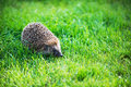 Hedgehog on green lawn in backyard Royalty Free Stock Image