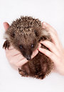 Hedgehog, in hands of the person Royalty Free Stock Photo