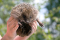 Hedgehog in human hands looking at camera on nature outdoor background Stock Image
