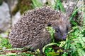 Hedgehog, native, wild UK hedgehog in green ferns Royalty Free Stock Photo
