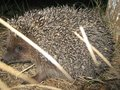Little hedgehog went out on his first hunt.