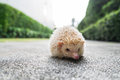 Hedgehog in a park walkway Stock Photos