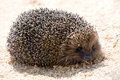 Hedgehog on sawdust background closeup looking at camera Royalty Free Stock Images