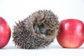 Hedgehog sleeps on apples photographed on a white background Stock Images