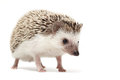 Hedgehog sniffing around Royalty Free Stock Photo