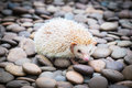 Hedgehog on stack of rock a Stock Photography