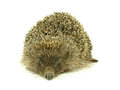 Hedgehog on white background Royalty Free Stock Image