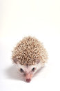 Hedgehog on white background isolate Royalty Free Stock Photography