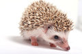 Hedgehog on white background isolate Royalty Free Stock Photo