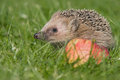 Hedgehog a young in the autumn Stock Image