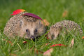 Hedgehog a young in the autumn Royalty Free Stock Photos