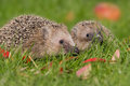 Hedgehog a young in the autumn Stock Photos