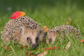 Hedgehog a young in the autumn Stock Images