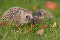Hedgehog a young in the autumn Royalty Free Stock Image