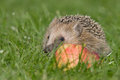 Hedgehog a young in the autumn Royalty Free Stock Photography