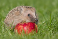 Hedgehog a young in the autumn Stock Photography