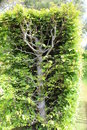 Hedgerow a neatly trimmed with branches showing Royalty Free Stock Photography