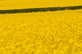 Hedging bets with a  rape seed crop for bio-fuel Royalty Free Stock Photo