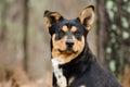 Heeler Cattledog Shepherd mixed breed dog