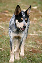 Heeler Pup Royalty Free Stock Photo
