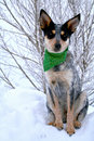 Heeler Pup 37 Royalty Free Stock Images