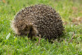Heghog hedgehog wonderful natural defense system Stock Photography