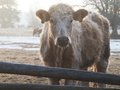 Heifer in winter young standing behind a fence on a pasture Stock Images