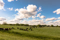 Heifers in ryegrass landscape Royalty Free Stock Photo