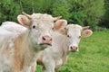 Heifers Royalty Free Stock Photo