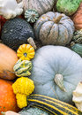 Heirloom squash on display varieties of and pumpkins at exposition of fruits and vegetables Stock Photos