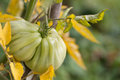 Heirloom tomato organic on a bush shallow dof Stock Images
