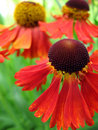 Helenium flower detail Stock Images