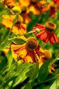 Helenium flowers in bloom bright orange of Stock Photography
