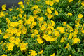 Helianthemum watergate yellow Royalty Free Stock Photo