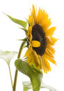 Helianthus Royalty Free Stock Image